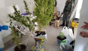 שוטרים חשפו עסק משפחתי לגידול סמים