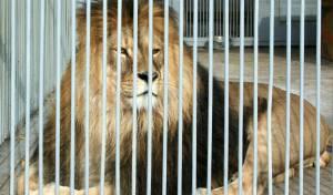 לישון עם אריות: גן חיות מציע; מלון יוקרה בכלוב