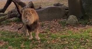 אומץ? נעמדה מול האריה והתגרתה בו • צפו