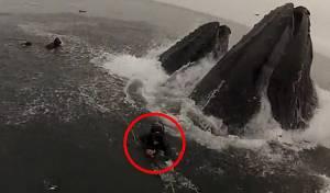 לוויתנים כמעט בלעו צוללנים • צפו