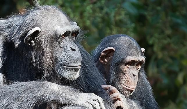עתירה: להכיר בשימפנזים כבני אדם