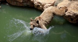 תיעוד מרהיב: הדובים והפילים - ביום השרבי