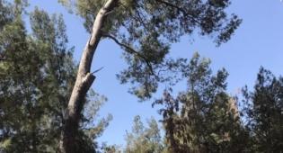 """קק""""ל תאלץ לכרות כ-90 עצים ביער חולדה"""