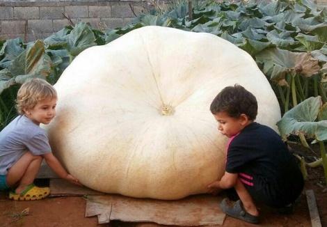 הדלעת הענקית - במשקל חצי טון: דלעת ענק צמחה בטירה