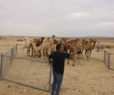 מבצע משטרתי: 22 גמלים משוטטים נתפסו