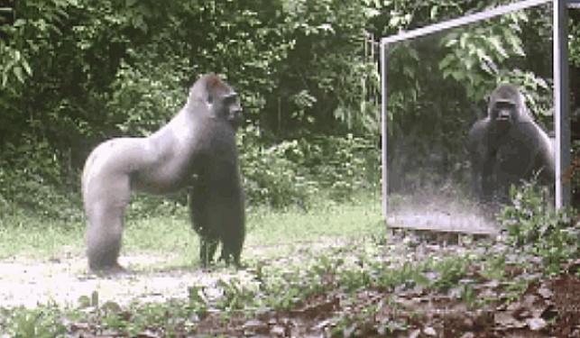 מה קורה כשמציבים מראה מול חיה?