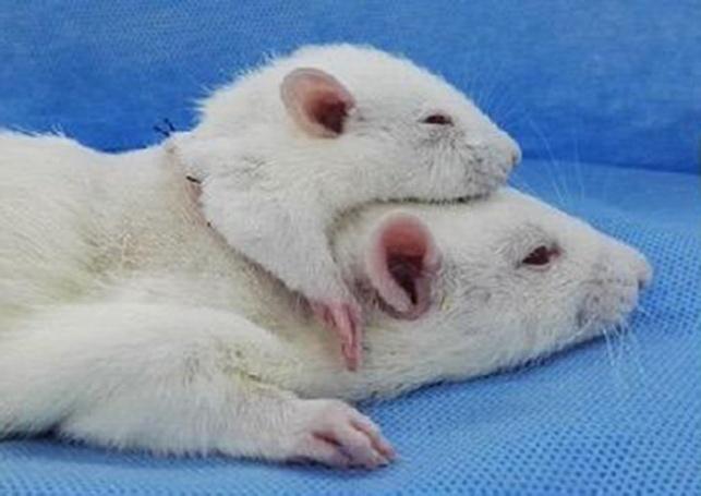 העכברוש בעל שני הראשים