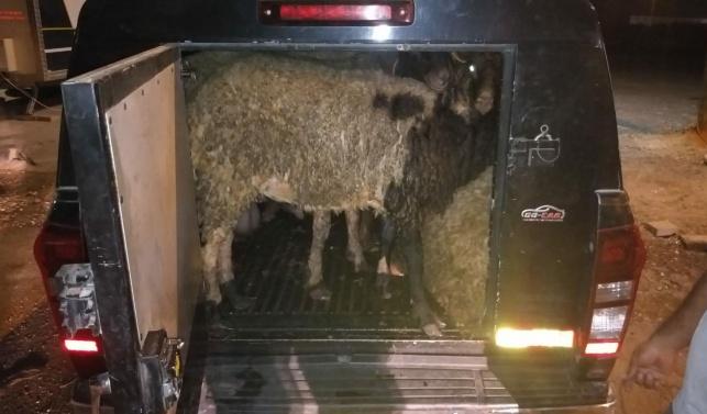 השוטרים עצרו את הטנדר ומצאו... 8 כבשים