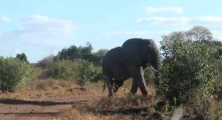 פיל בפארק הלאומי צאבו שבאפריקה