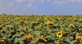 תיעוד מרהיב: פריחת החמניות בדרום הארץ