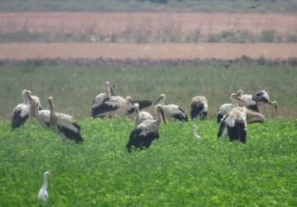 החסידות הלבנות עצרו לרענון בשדה • צפו