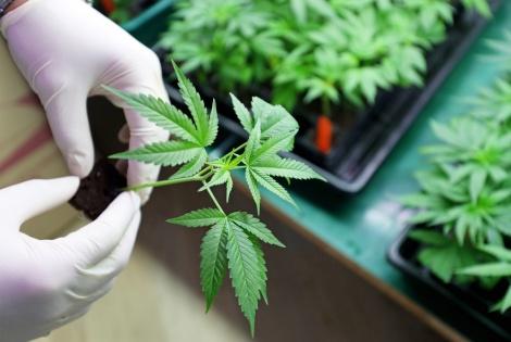 צמח הקנאביס. אילוסטרציה - אלו הם בתי המרקחת שימכרו קנאביס רפואי