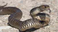 עונת הנחשים התחילה: שני מקרי הכשה