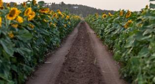 שדה חמניות ליד לטרון