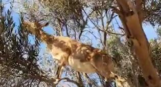 כך התאמצה היעל כדי לאכול מראש העץ