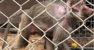 צער בעלי חיים: הקופים הוחזקו בתת תנאים