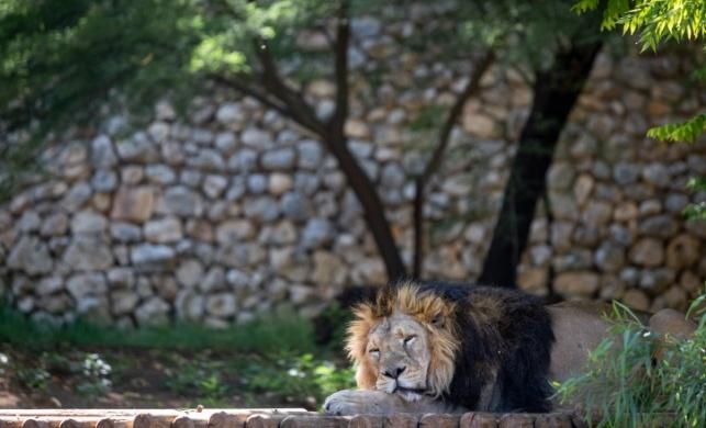 """האריה בגן החיות התנ""""כי השבוע, סובל מהחום?"""