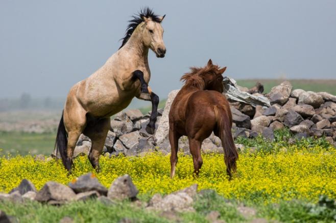 מרהיב: צפו בעדר סוסים משתעשע במרעה