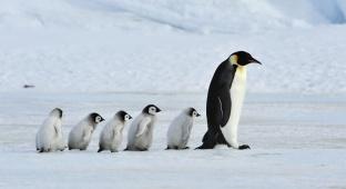 כיצד מביאים קרבן פינגווין / הרב אבי אברהם