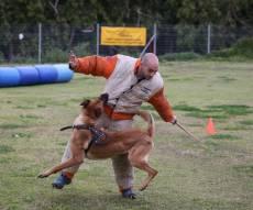 תיעוד מיוחד: כך מאמנים כלבים מסוג 'רועה בלגי'
