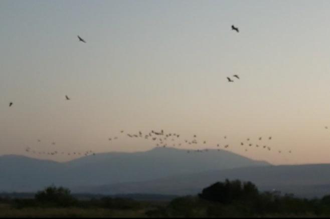 תיעוד מדהים: 33,000 עגורים ב'אגמון'. צפו