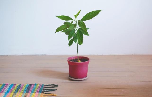 גם יפה וגם אופה: איך מגדלים אבוקדו בבית