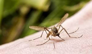 הגנטיקה אשמה. עקיצת יתושים