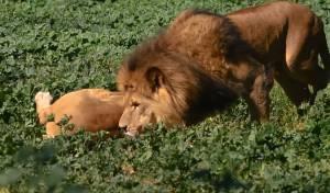 הקפה השחור של האריות בספארי • צפו