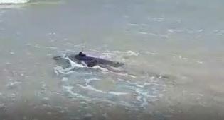 צבת הים הוחזרה למים - עם משדר על גבה
