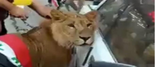 זה עוד לא ראיתם: המפגינים הביאו... אריה