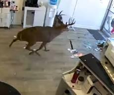 צפו: צבי התפרץ למספרה וניפץ חלון ראווה