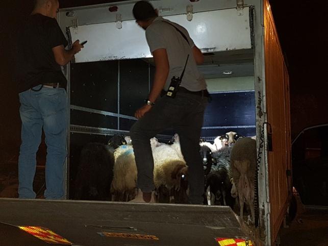 הבלשים לכדו 20 כבשים ופרה אחת • תיעוד