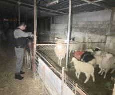 הכבשים שנגנבו מהחקלאי בן ה-97 - אותרו