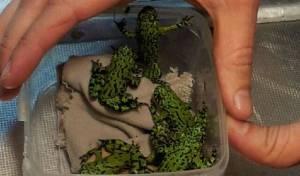 הצפרדעים שנתפסו