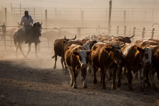 ראשי בקר, סוסים ומה שביניהם • צפו בגלריה