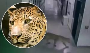 מצלמות בית הספר תיעדו: נמר תקף בני אדם