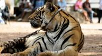 נמר עם תיירים בתאילנד