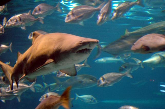 כריש. ארכיון