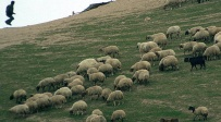 אילוסטרציה - רועה צאן יהודי נפצע במהלך ניסיון שוד של עדרו