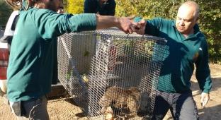 לאחר שבוע: הקוף שברח נתפס והוחזר לספארי