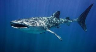 כריש לוויתן ענק ביקר באיזור אילת  •  צפו