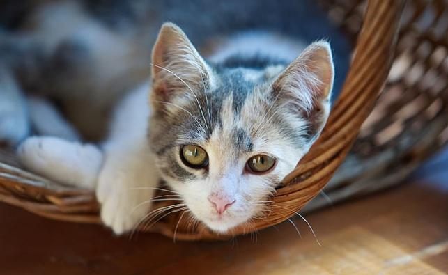 חתול, אילוסטרציה
