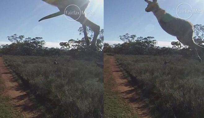 כמעט אסון: קנגורו התנגש ברכב