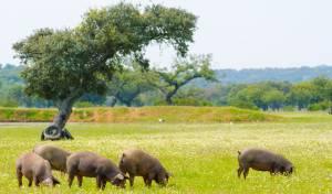 חזירים בספרד