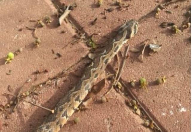 הנחש שהכיש