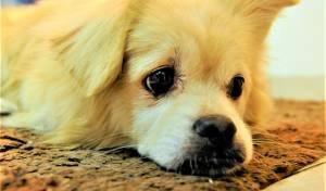 עין של כלב. אילוסטרציה