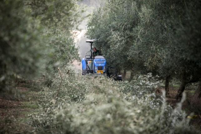 מסיק זיתים בעמק יזרעאל השבוע