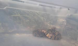 נחש צפע בתוך ארון חשמל בבני ברק • צפו