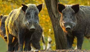 החזירים המשוטטים במודיעין עילית