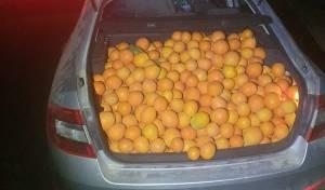 התפוזים בתא המטען